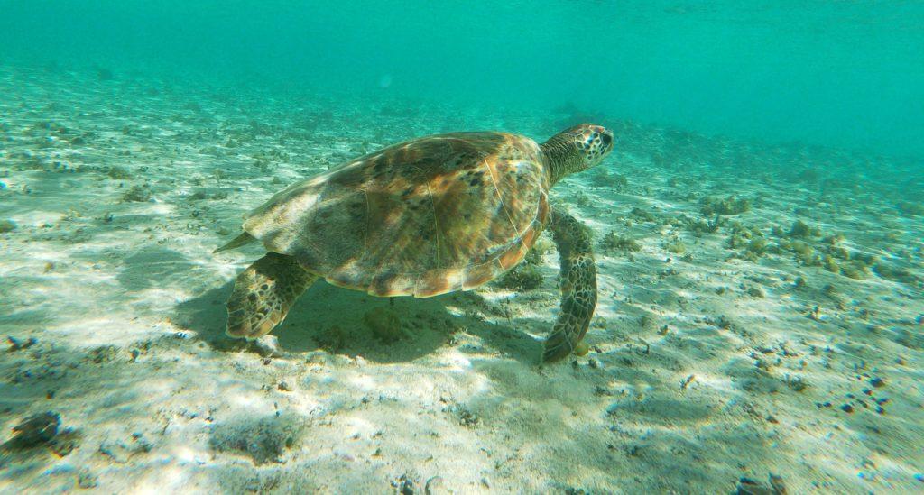 Snorkelen in Kroatië, een zee-schildpad